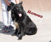 Romeo schwarzer kroatischer Schäferhund Mix-Rüde
