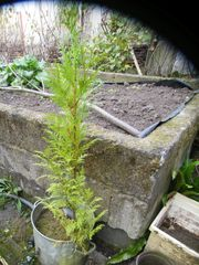Thuja Zypresse - jetzt pflanzen - gute