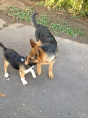 Schäferhund Rüde 6