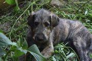 Irish Wolfhound Irischer Wolfshund Rüde