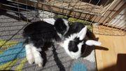 Riesen-widderMix Kaninchen