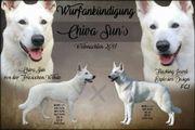 Weiße Schäferhunde Wurferwartung