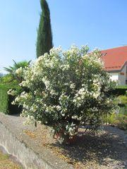 traumhaft schöner weißer Oleander