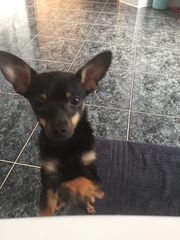 Mini Toy Terrier