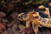 Breitrand-Schildkröte, Testudo