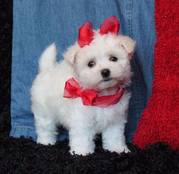 Schönes mini Malteser » Hunde