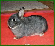 Belly 10 Monate - Zwergkaninchen - Tierhilfe