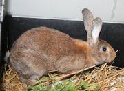 Kaninchendame in braun