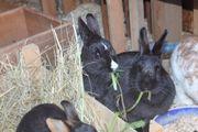 2 Kaninchen ca.