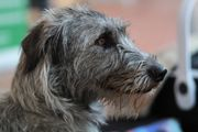 Wurfankündigung Irish Wolfhound