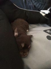Langhaar Chihuahua Braun