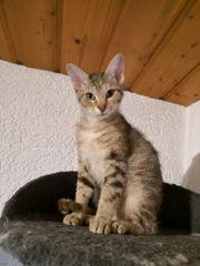 süße Bengal Mix Katze Kitten