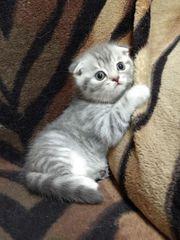 wunderschöne Scottish Fold Kätzchen suchen