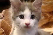 Pandora - Maine Coon Kätzchen mit