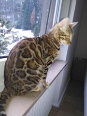 Bengal Katze 2
