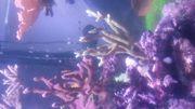 VERSCHENKEN Montipora digitata koralle