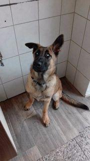 Malinois Schäferhund Rüde