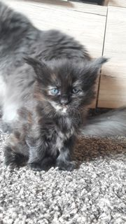 Maincoon kitten