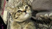 Süße BKH Kitten in Blue