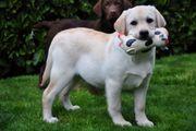 Freundliche Labradorwelpen in