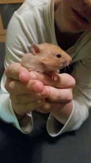 Hamsterbaby männlich