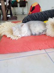 BKH Kätzchen in Blue Golden