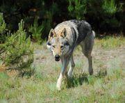 Tschechoslowakische Wolfshunde - Welpen aus den