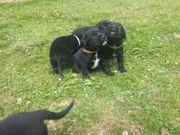 Labrador Welpen. Abgabe
