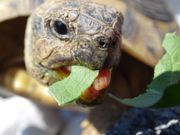 Griechische Landschildkröte Landschildröte