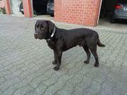 Labrador Welpen Wurfankündigung