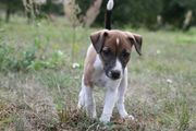 Jack Russell Terrier Hündin Welpen