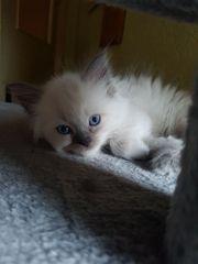 Ragdoll Kitten suchen