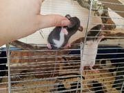 2 Dumboratten Ratten