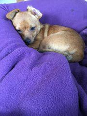 Chihuahua- Rehpinscher Mix