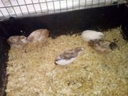 Chinesische Zwergwachtel Hennen