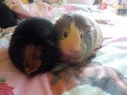 2 Meerschweinchen-Mädels