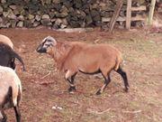 Kamerunschaf - Jungbock braunmarkenfarbig