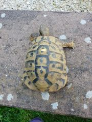 Griechische Landschildkröte männl.