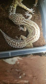 Leopardgecko Reserviert