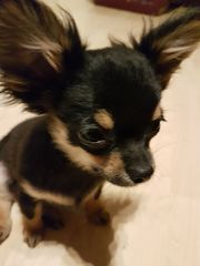 süßer Mini Chihuahua