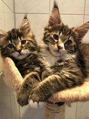 XXL Maine Coon Kitten Katzen