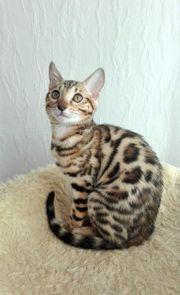 Wunderschönes reinrassiges Bengal Kätzchen mit