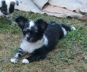 Chihuahuawelpen aus Hobbyzucht