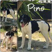 Pino (Rüde aus