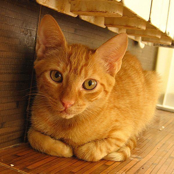 TIRAMISU - schüchternes Katerchen » Katzen
