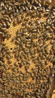 Komplette Bienenvölker und Zander Ableger
