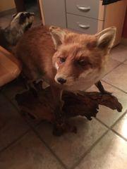 Fuchs Präparat aus