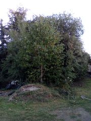 Kirschbaum wild