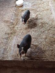 Minischweine - 6 Monate alt