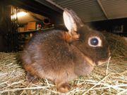 Kaninchen Farbenzwerg lohfarbig